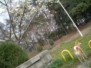 桜とコロ助