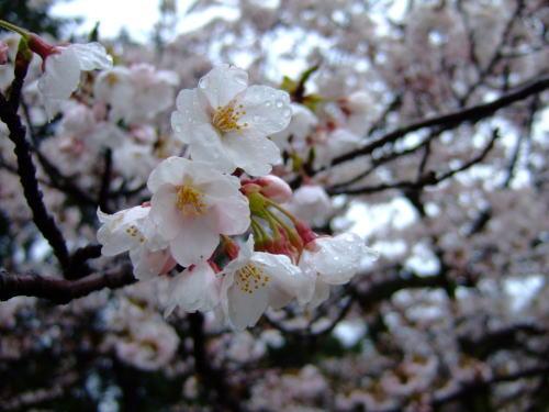 雨のしずくをまとった桜