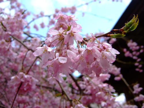 日本の春ですね~