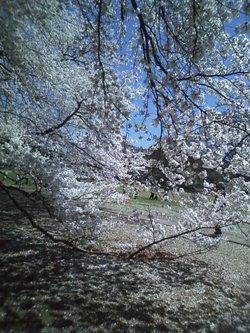 ブログ用4.1桜