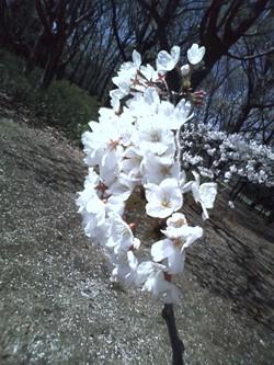 ブログ用4.1桜2