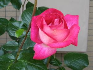 ブログ用5.6薔薇満開