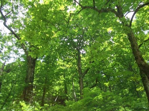 ブナの林ブログ