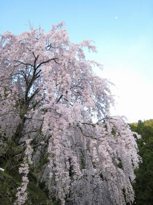2008/04/14しだれ桜1