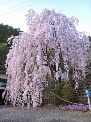 2008/04/14しだれ桜2