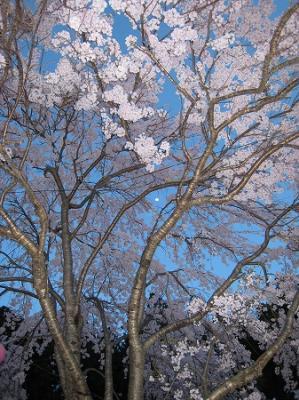 2008/04/14しだれ桜3