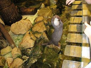 屋島水族館カワウソ