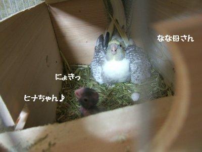 巣箱のヒナ