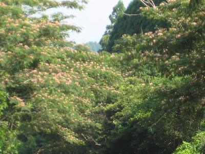 ねむの木の花♪