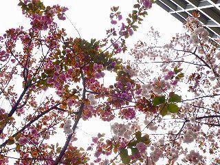 桜餅 2色