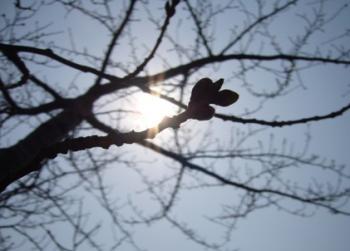 お日様と桜