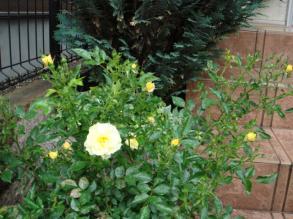 0511黄色いバラ
