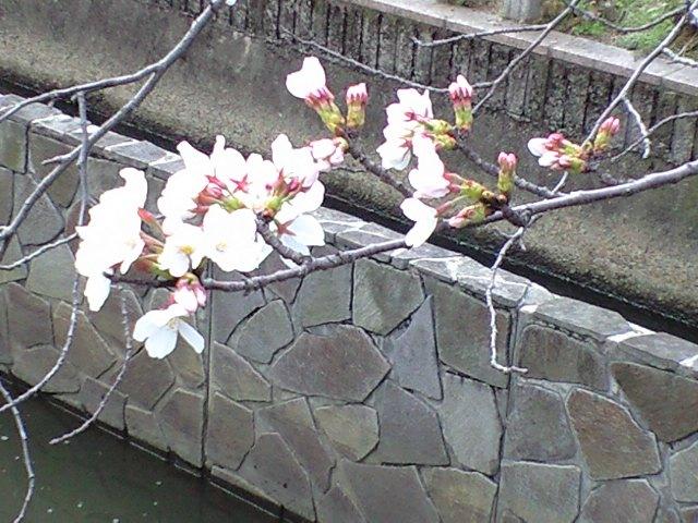 20080327sakura1.jpg