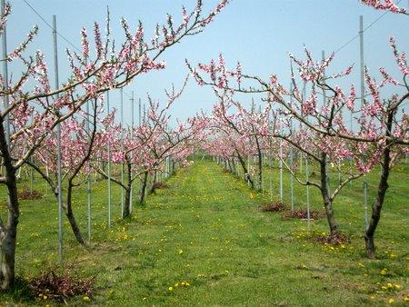 リンゴの花のトンネル