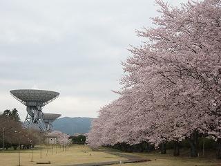 KDDI桜祭り