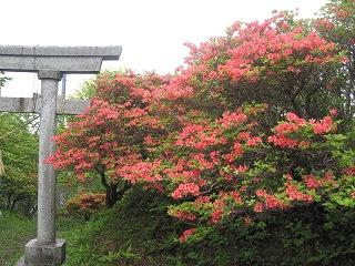 山頂神社のツツジ