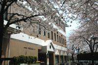 満開の桜のもと