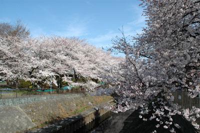 満開の桜と和田堀公園