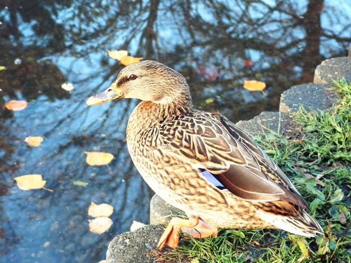 ひょうたん池の鴨1