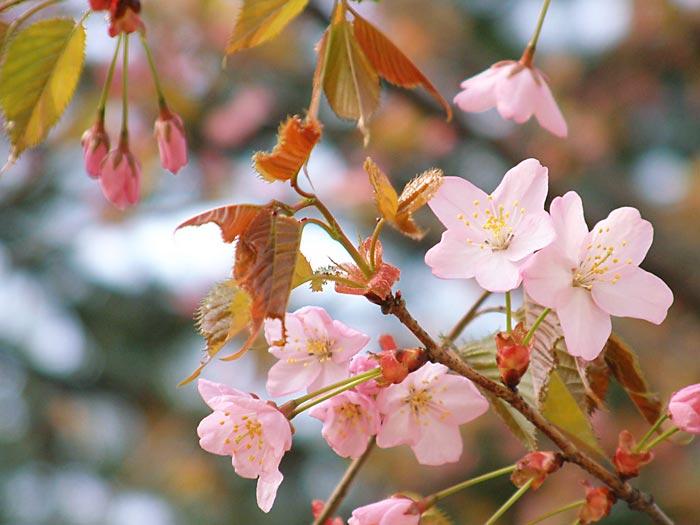 kotosino sakura