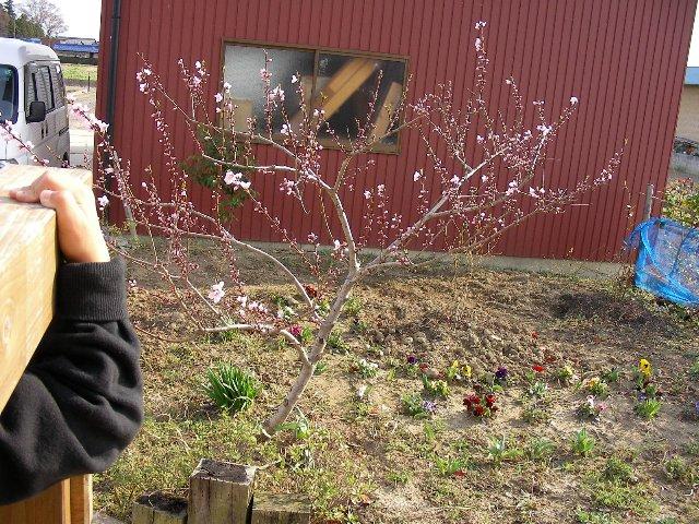桃は咲き止まり