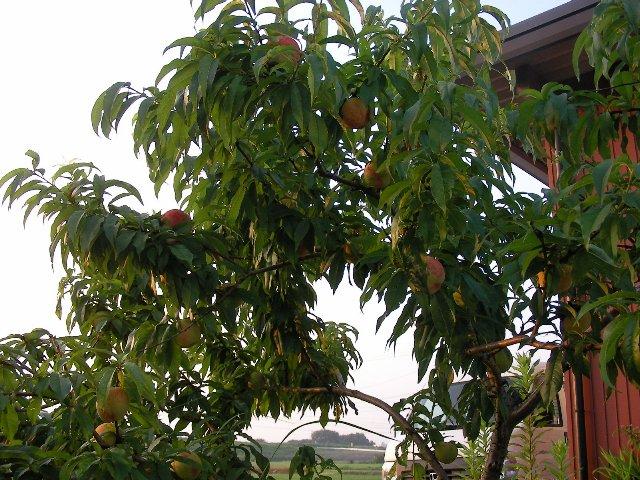 庭の桃~1