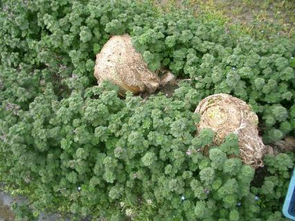 森の中のエイリアン白菜