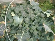 ブロッコリーの脇芽がいっぱい!