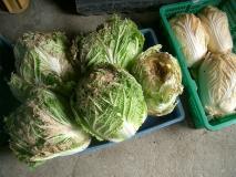 エイリアン白菜たち