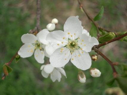 スモモの花(だと思う)