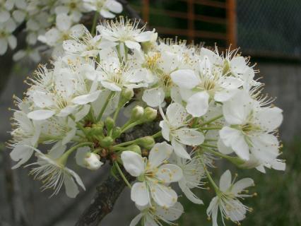 杏の花(たぶん)