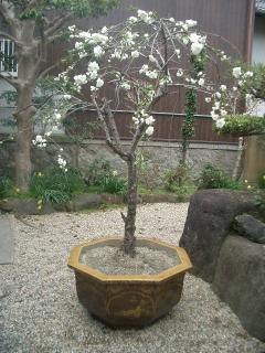 花桃に花が咲いた!