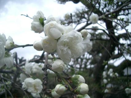 清楚な白い花です!