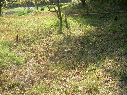 竹林の外まで出てきている筍たち