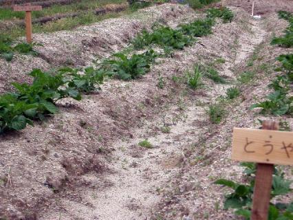 芋畑のジャガイモたち