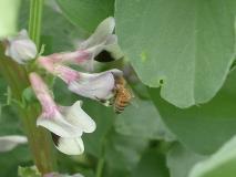 仕事中のミツバチ