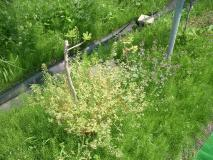 一瞬、花かと間違うイチジクの鉢植え