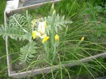 黄色い花のジャーマンアイリス