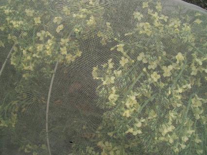 ネットの中は花盛りのブロッコリー(笑)