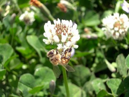 シロツメクサとミツバチ