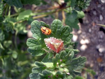古代王朝風のカメムシとテントウムシの幼虫?