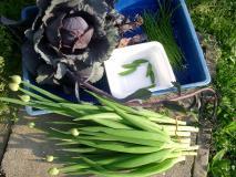 紫キャベツを収穫しました…