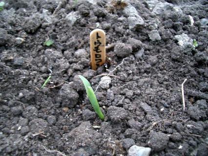 芽が出たばかりのものも