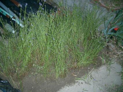 なぞの雑草も移植しました!