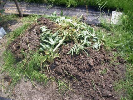 ソラマメの雑草の山に熟成した堆肥を乗せてみた