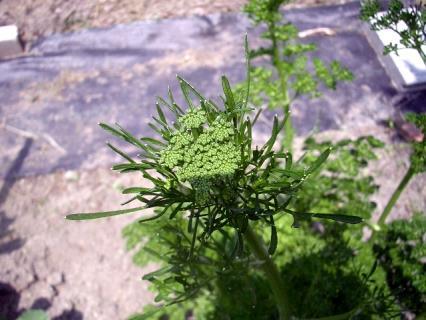 パセリの花芽