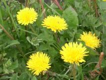 のどかに咲くタンポポ