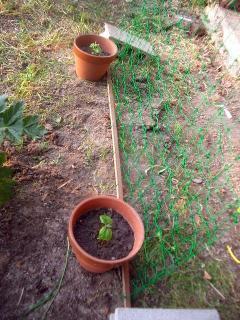 鉢植えで2種類のゴーヤ