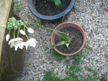鉢植えになりました