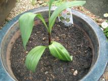 行者ニンニクも鉢植えになりました